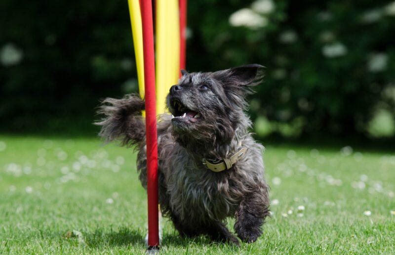 cane nel percorso di agility