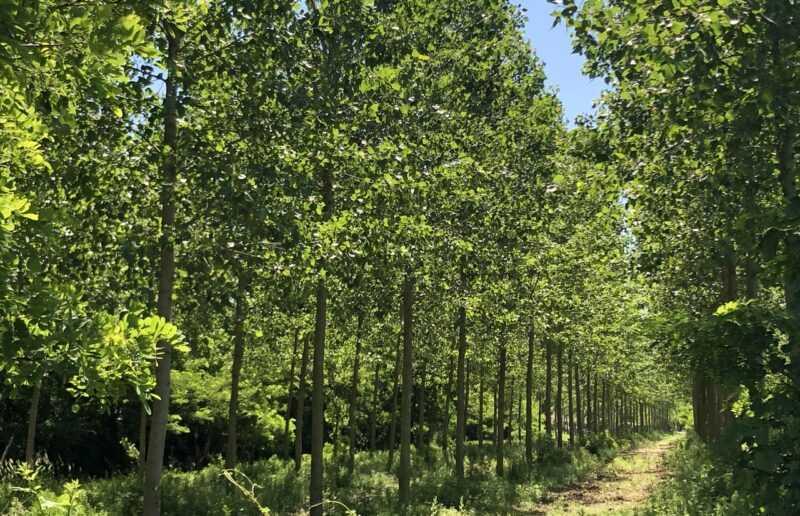 bosco di pioppi