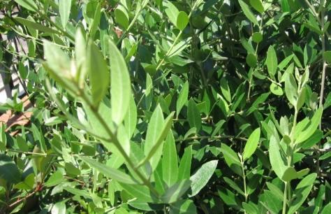 olivo-a