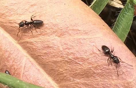 come eliminare le formiche dall 39 orto e dal giardino