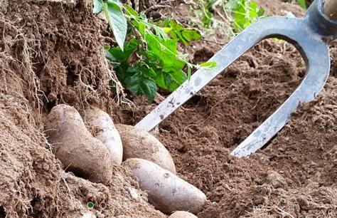 patate paysage a manger