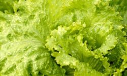 insalata