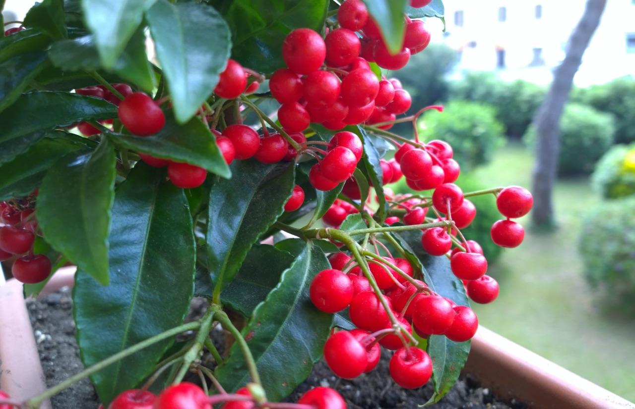 Pianta Ornamentale Con Bacche Rosse coltivare l'ardisia. tecnica di coltivazione | bricoliamo