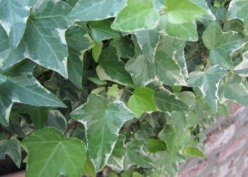 foglie di edera