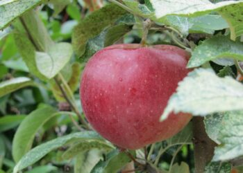 mela matura