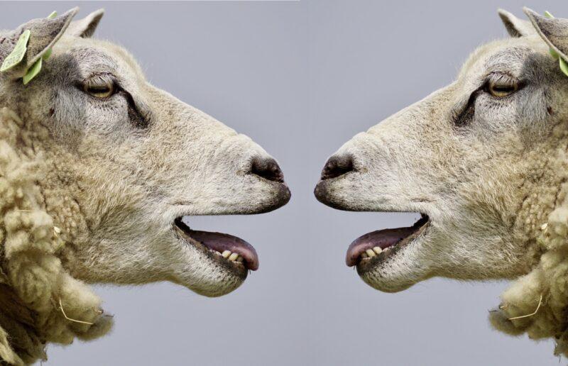 pecore che belano