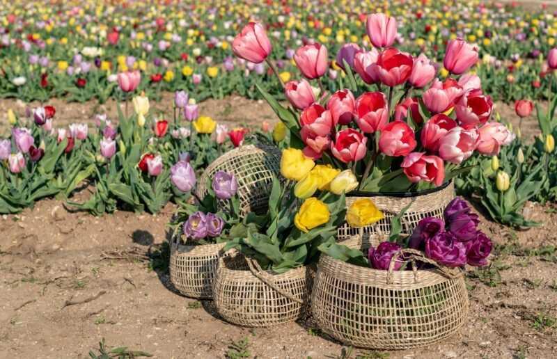 tulipani appena raccolti