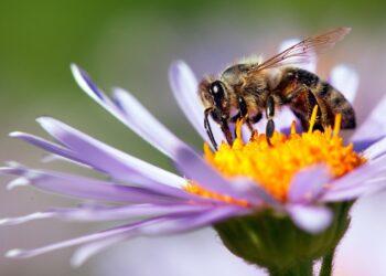 ape impollinatrice sul fiore