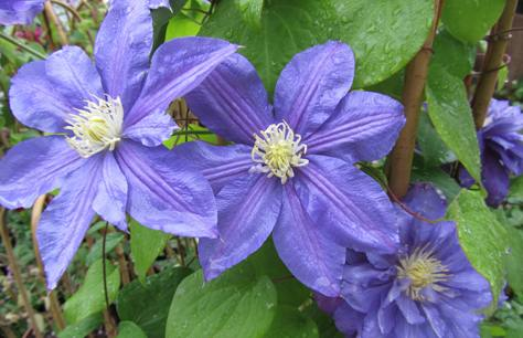 Clematis-a