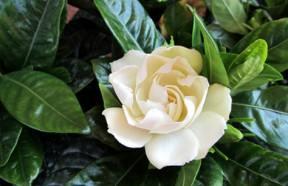 Bricoliamo guide e mercato giardino e bricolage - Gardenia pianta da interno o esterno ...