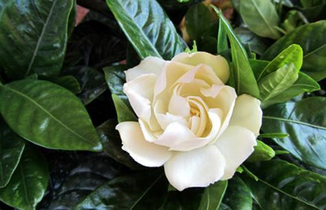Coltivare La Gardenia